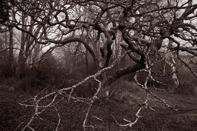 Tangled Oak